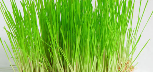Amazing Health Benefits of Wheatgrass